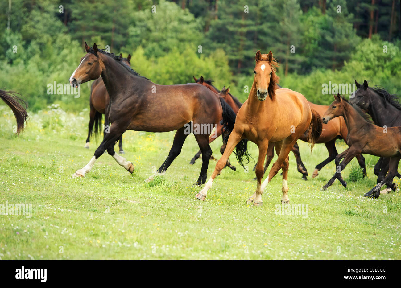 Running  sportive breed mares  at freedom - Stock Image