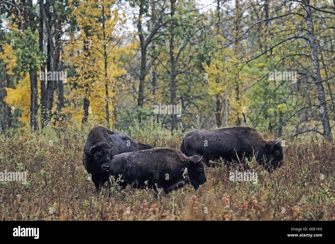 American Bison bull test receptiveness from a cow Stock Photo