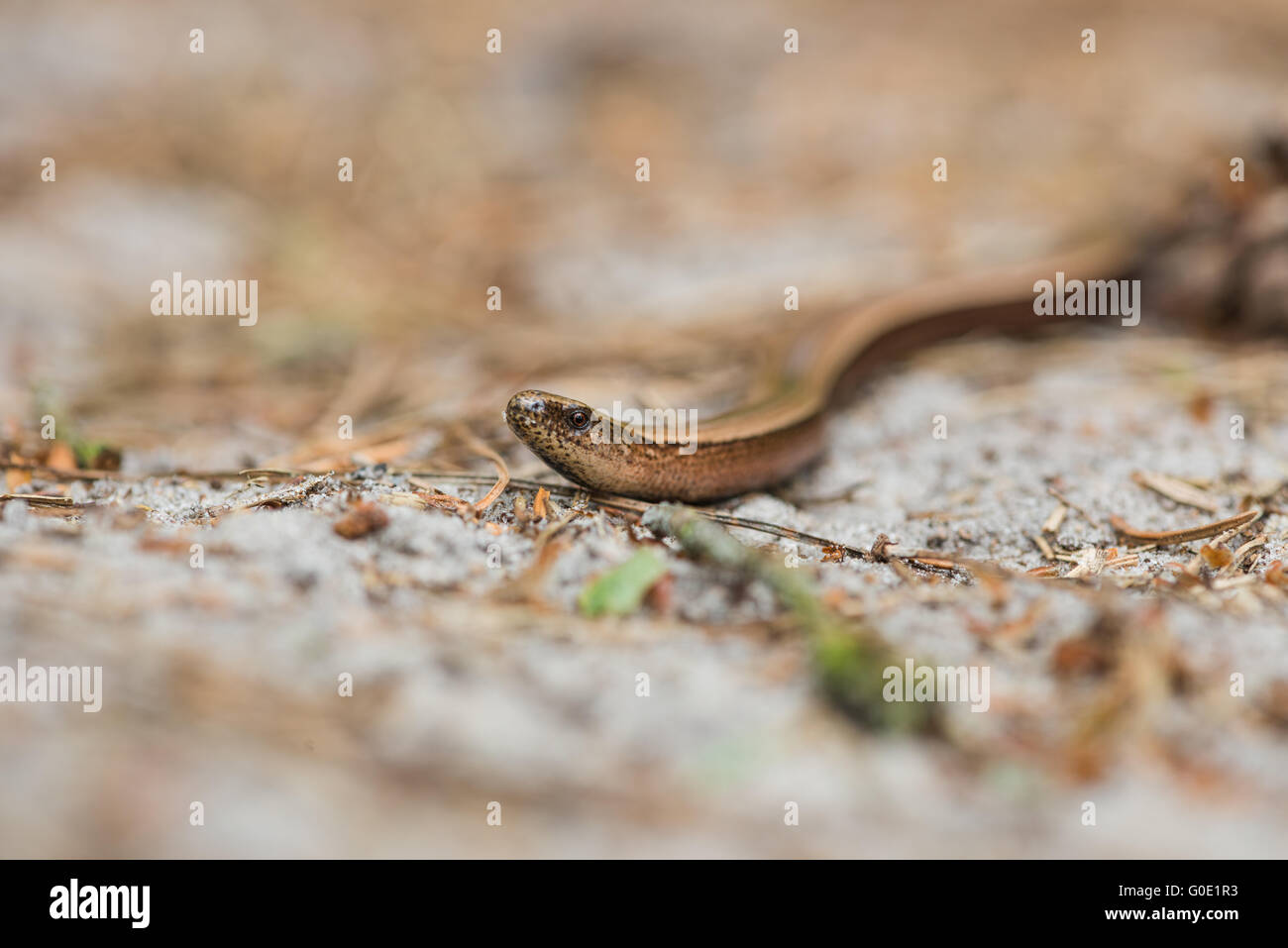 Slow-worm - Stock Image