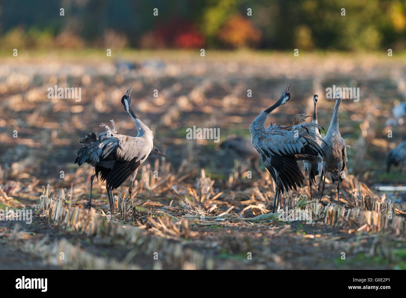 Common cranes in Germany Stock Photo
