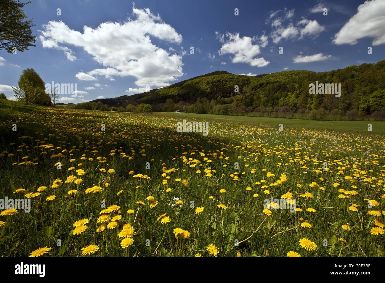 blooming dandelion meadow near Bruchhausen - Stock Image