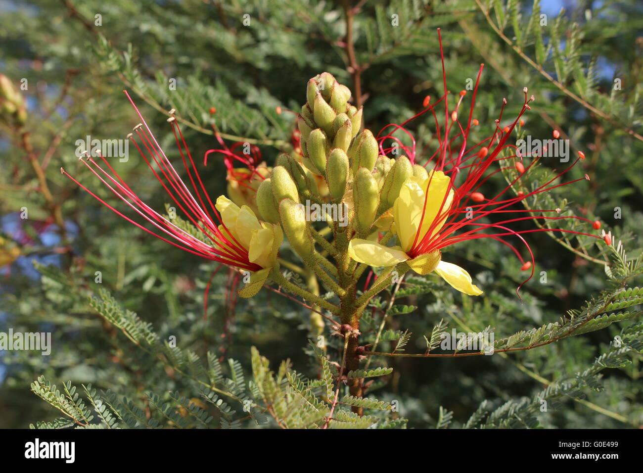 bird of paradise bush Stock Photo