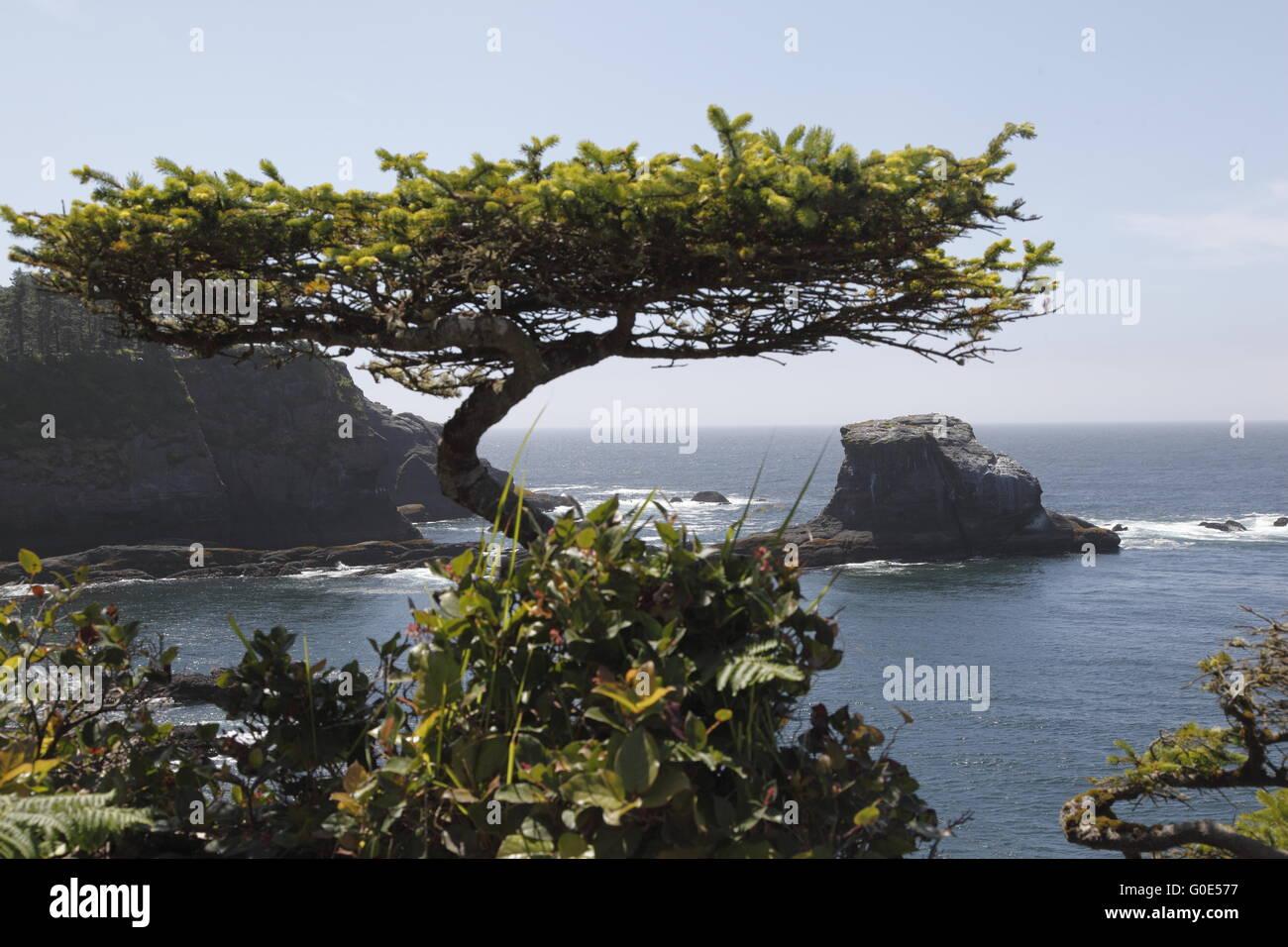 Warped tree, Cape Flattery - Stock Image