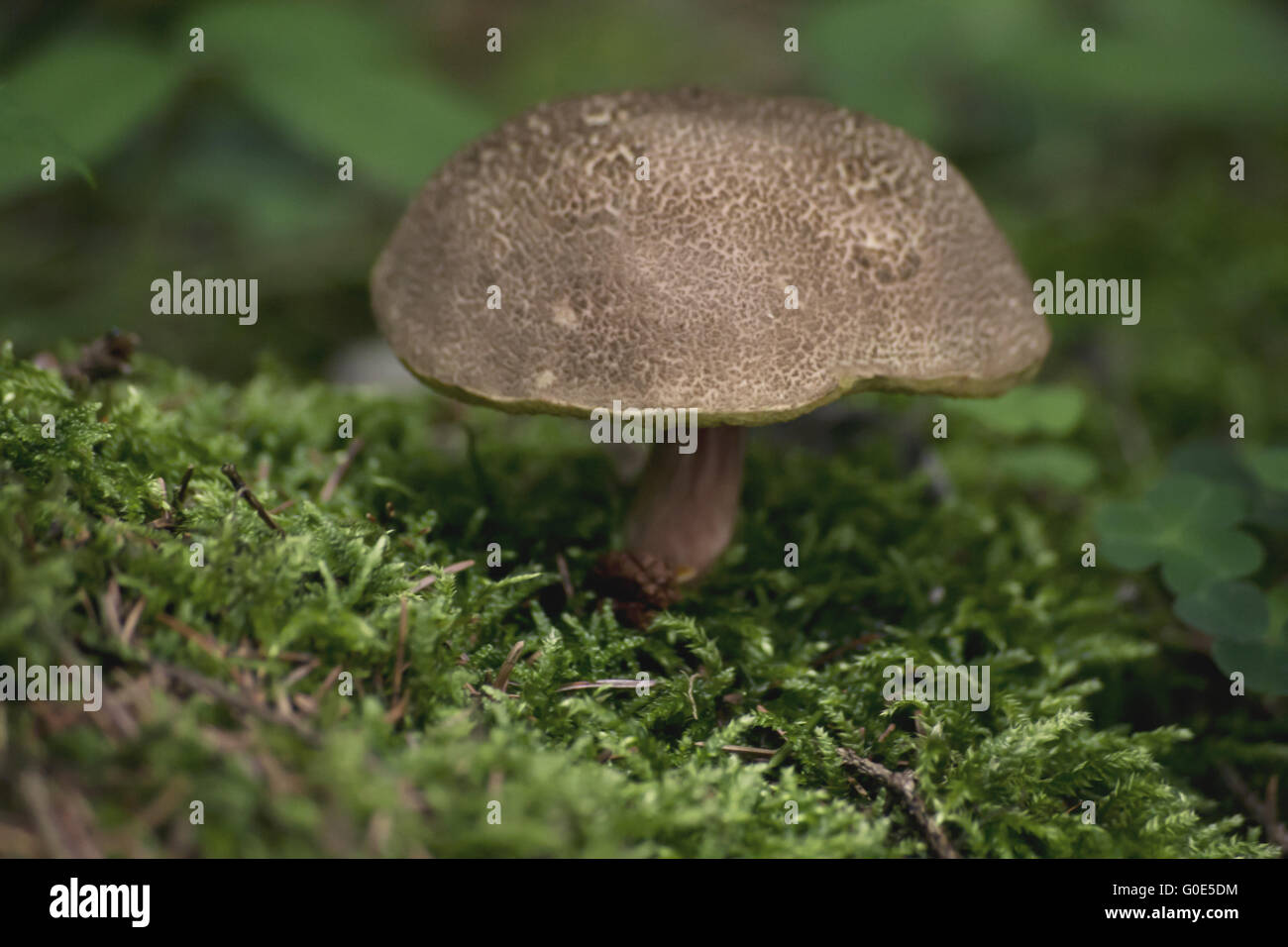 Mushroom in the forest - Stock Image