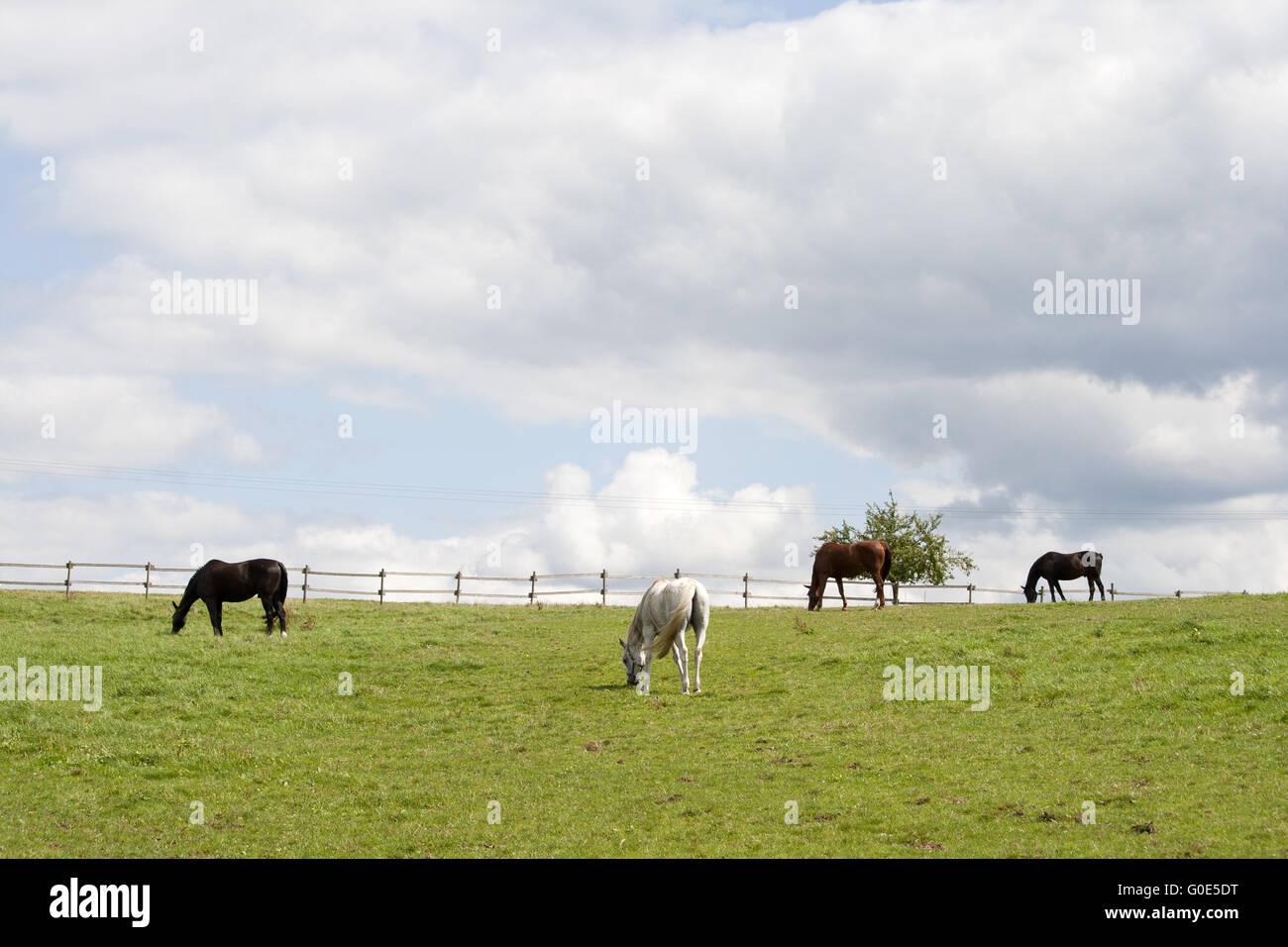 Horses grazing free on paddock - Stock Image
