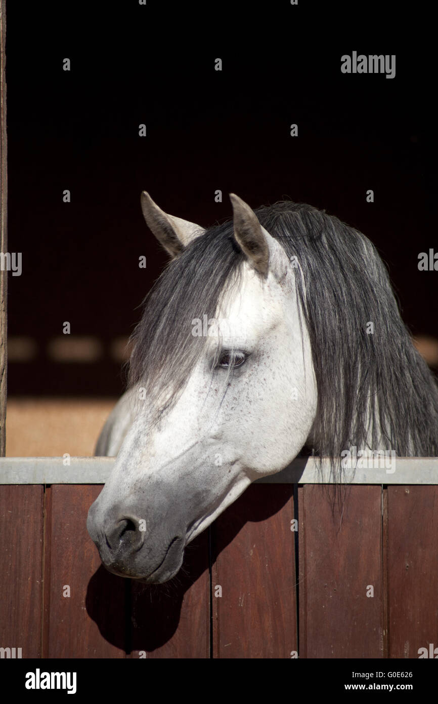 White horse in stable - Stock Image