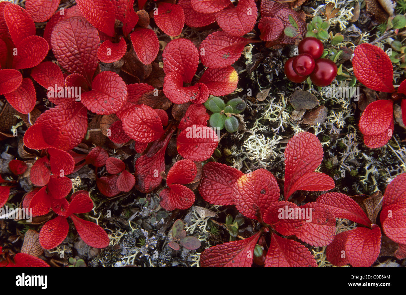 lpine Bearberry the berries appreciated by birds Stock Photo
