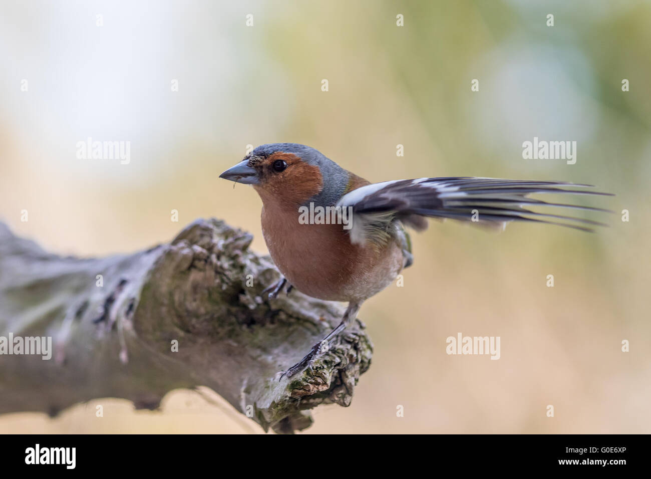 Fluttering Chaffinch - Stock Image