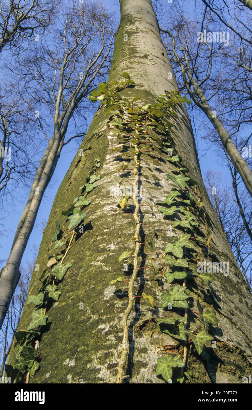 Common Ivy is an evergreen climbing plant - Stock Image