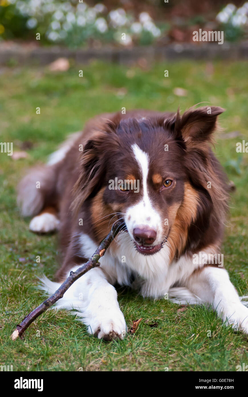 Australian Shepherd - Stock Image