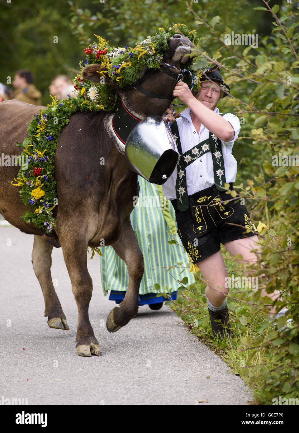 returning of  herd of cows from mountain pasture - Stock Image
