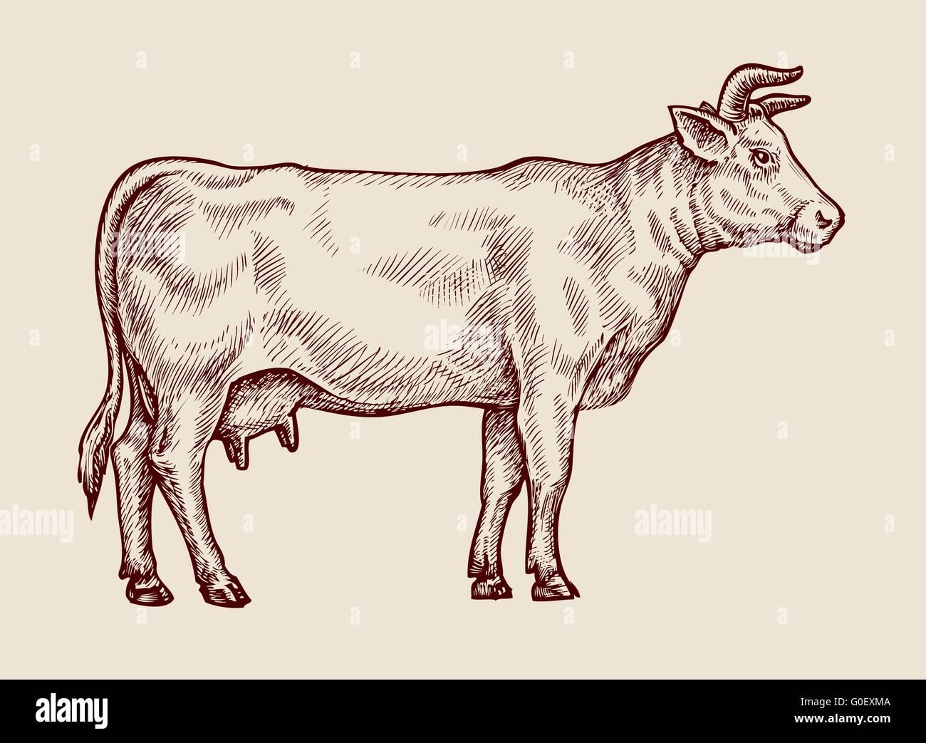 Sketch cow  Hand-drawn vector illustration Stock Vector Art