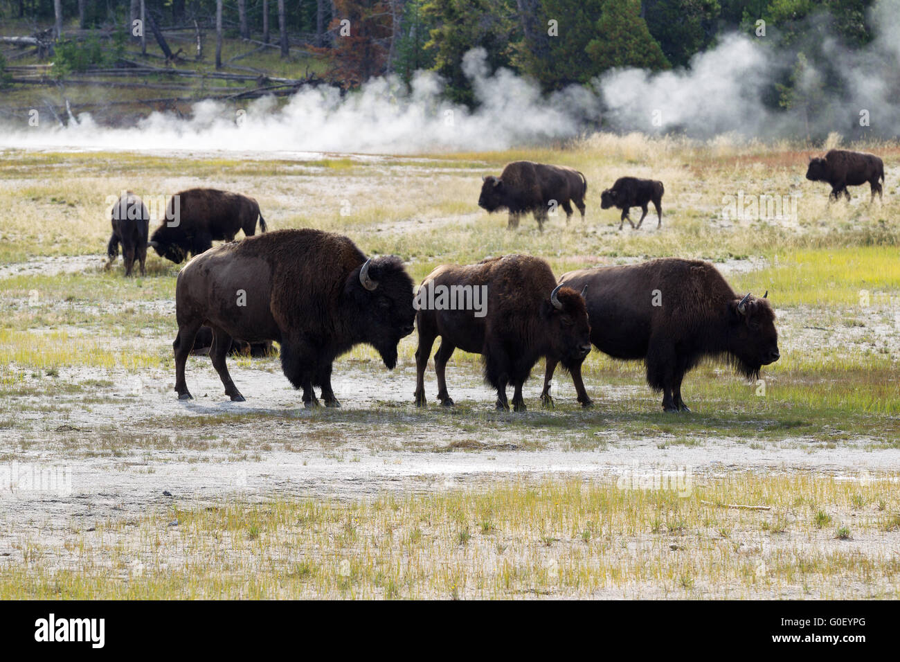 Family of North American Buffalo near the hot springs in Yellowstone Park - Stock Image