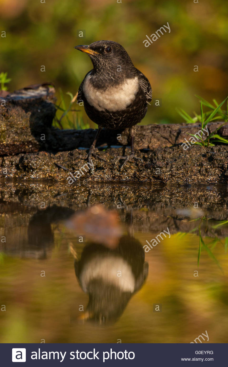 Ring ouzel mirroring in water - Stock Image