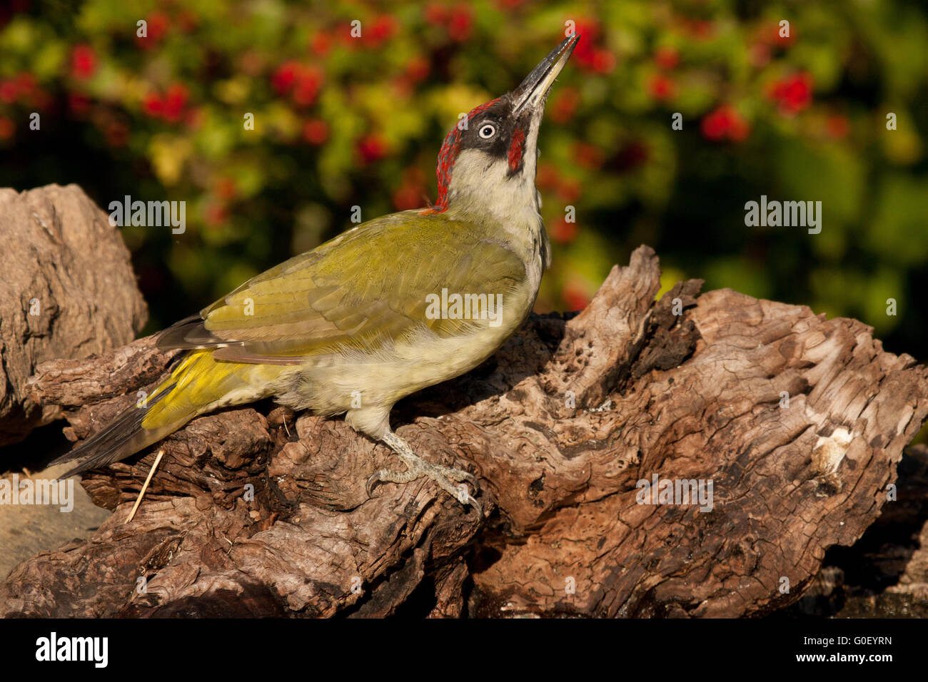Green woodpecker in front of hawthorn - Stock Image