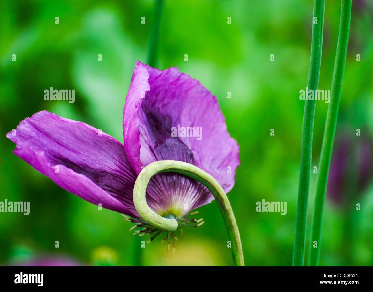Poppy Poppy in purple field Stock Photo