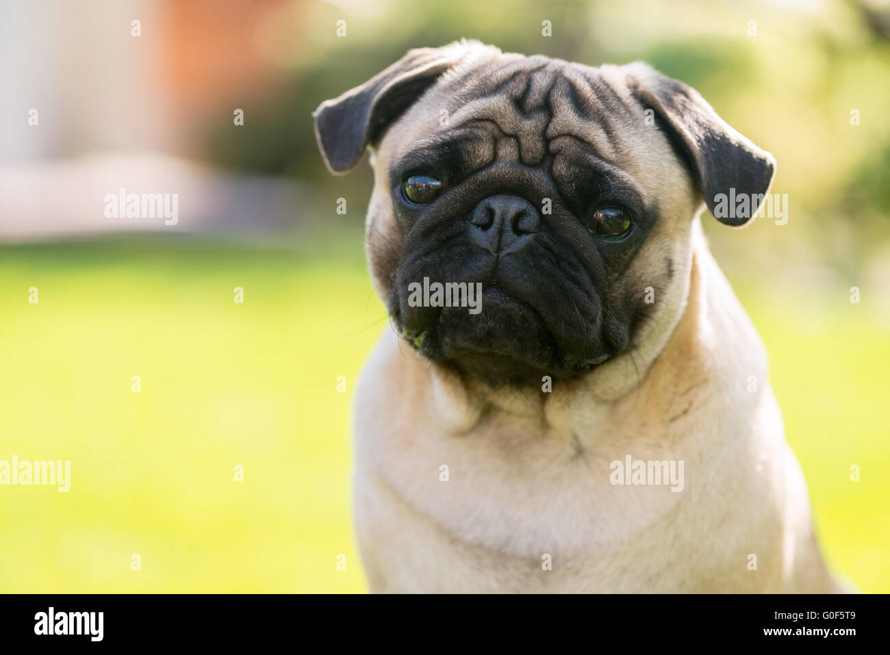 Cute Male Pug on green background in the summer park - Stock Image