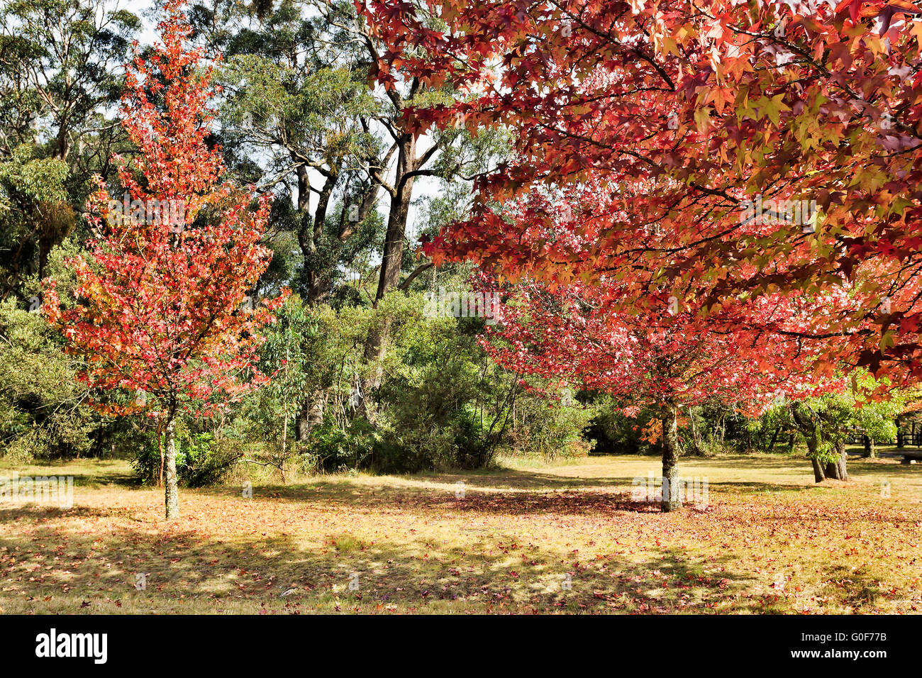 Red yellow autumn trees in nature park at Mount Wilson of Blue Mountains, NSW, Australia. Sun lit nature reserve - Stock Image