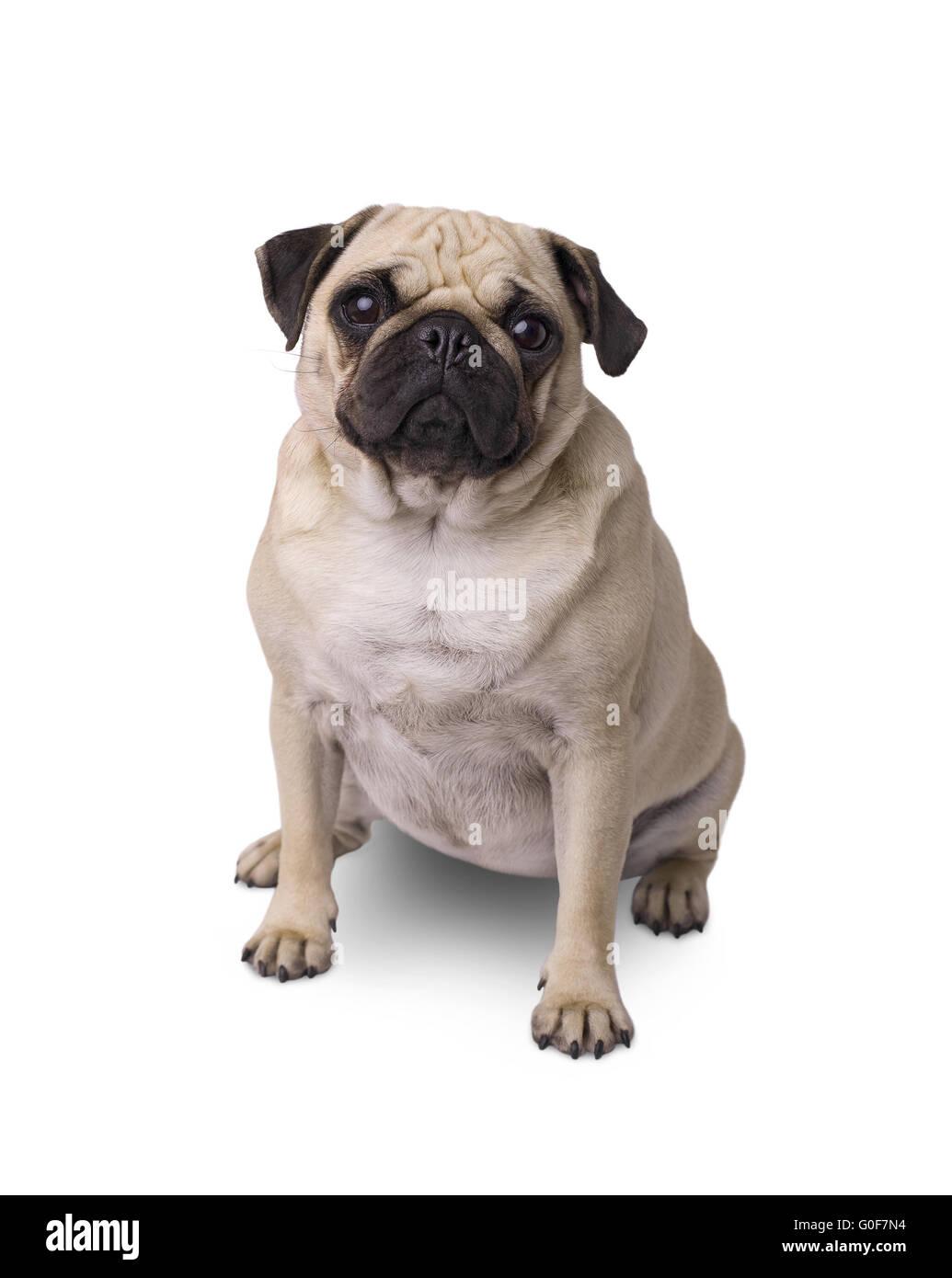 pug dog - Stock Image