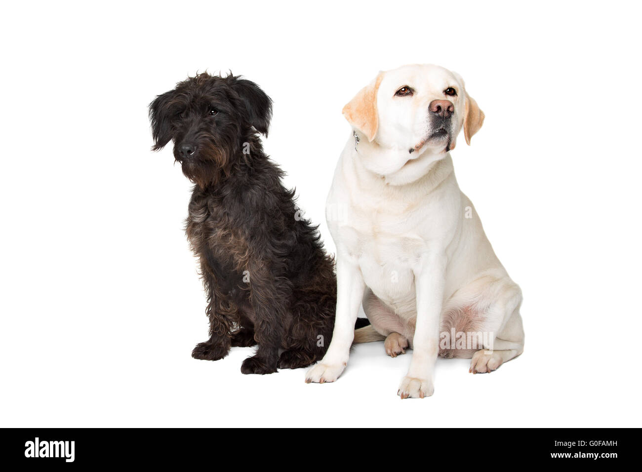 Labrador and a black fluffy dog - Stock Image