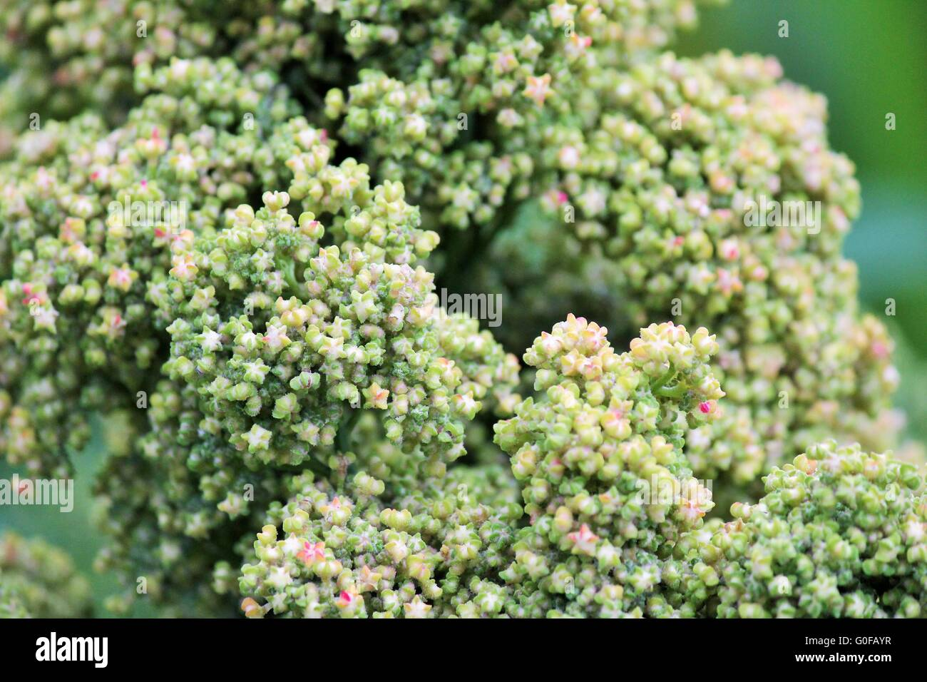 Quinoa crop grows at farm superfood - Stock Image