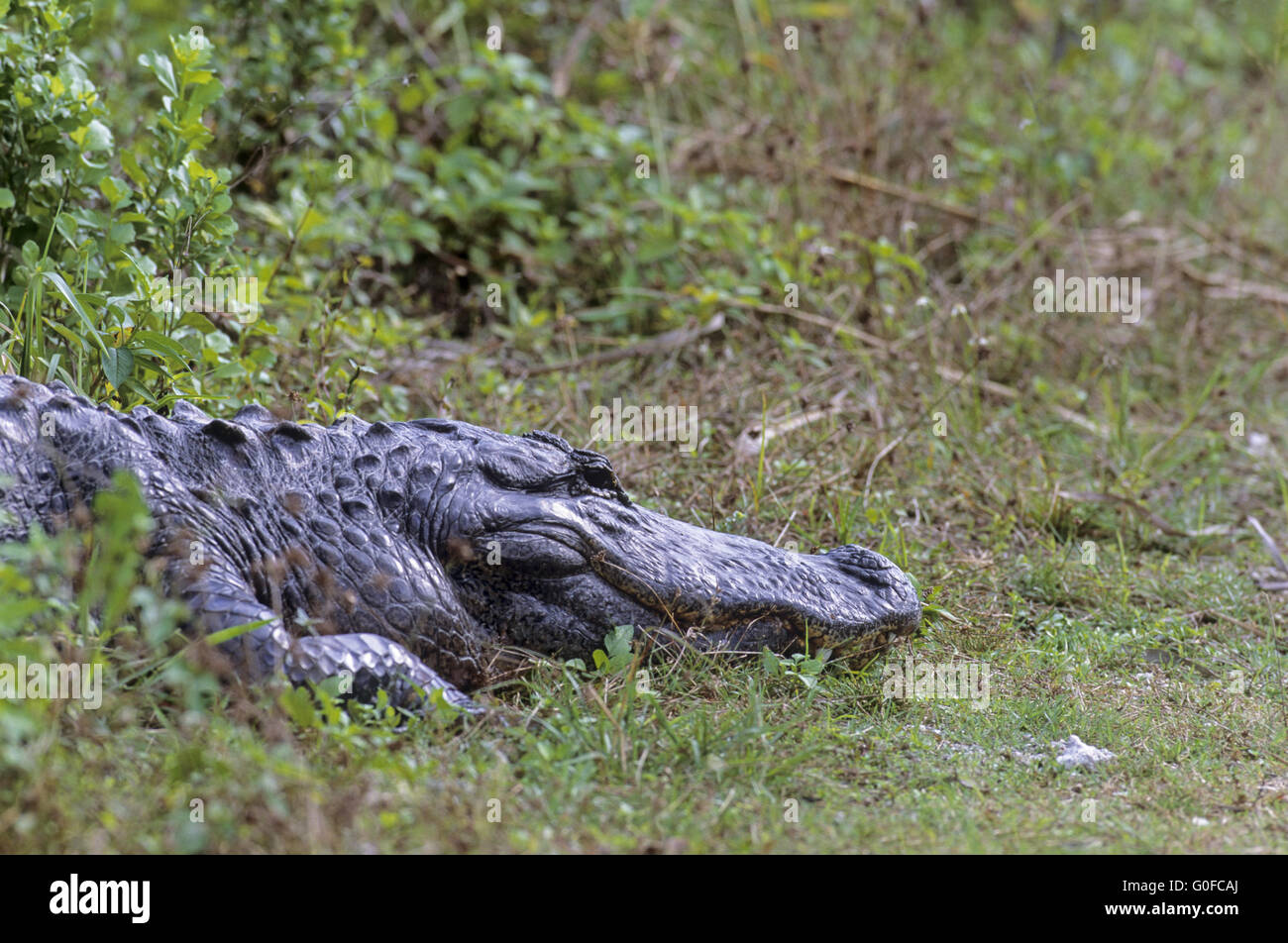 American Alligator is the official state reptile of Florida Stock Photo