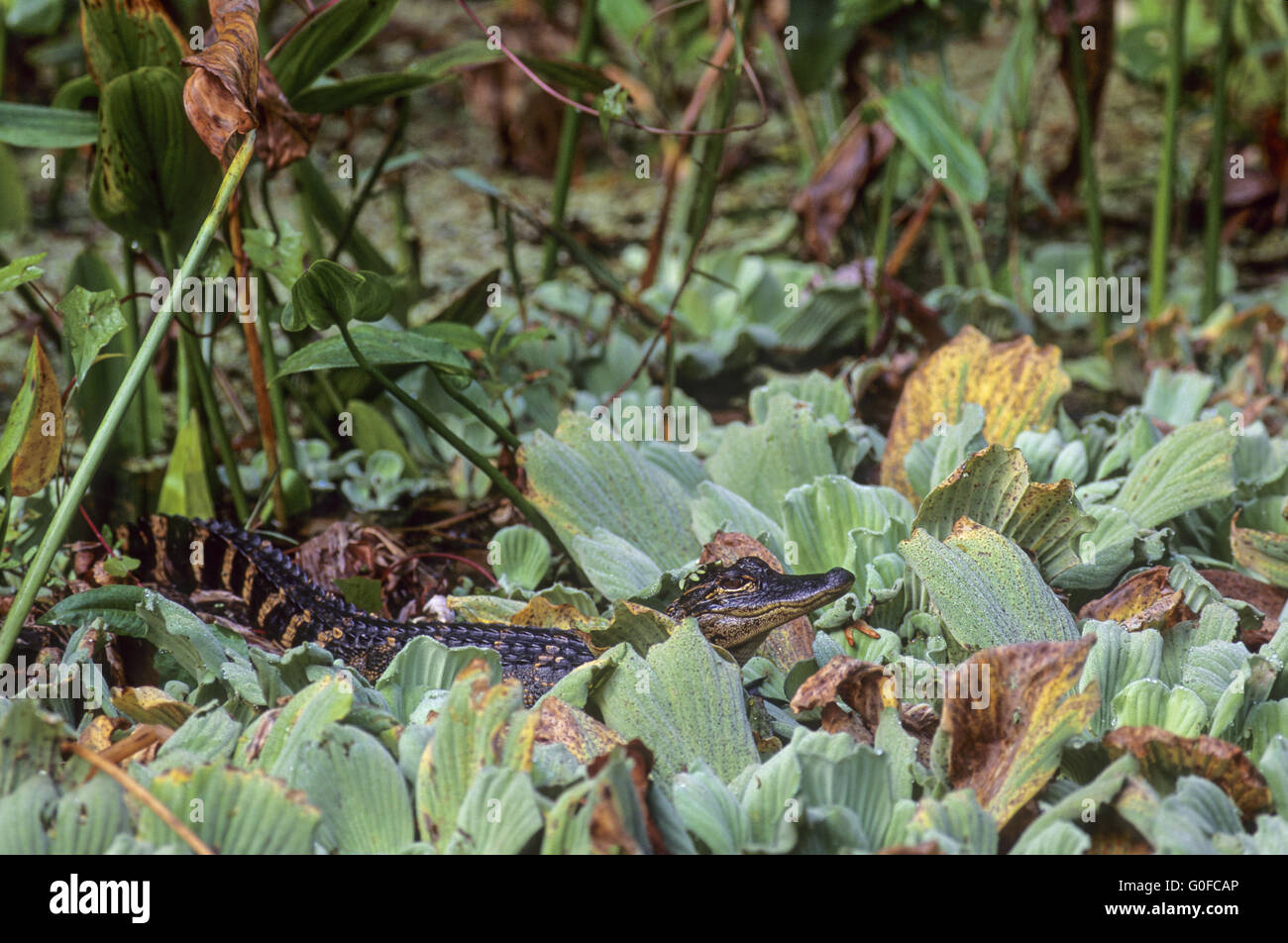 American Alligator is endemic to the southeastern United States Stock Photo