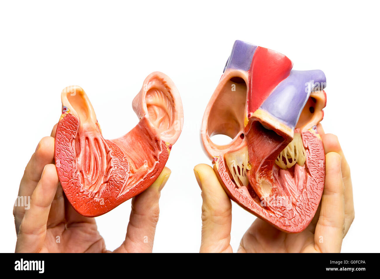 Fingers holding open human heart on white background - Stock Image