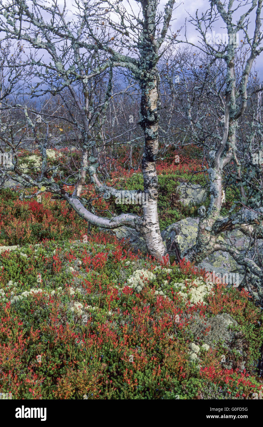 Fulufjaell with blueberries, reindeer lichens and birches in autumn - Stock Image