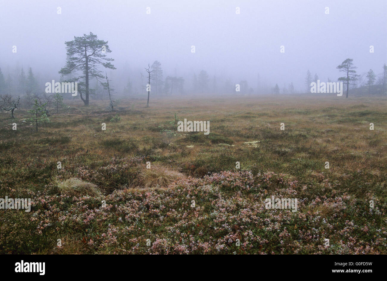 Hill moor in fog with moor grass and blueberries in fall - Stock Image