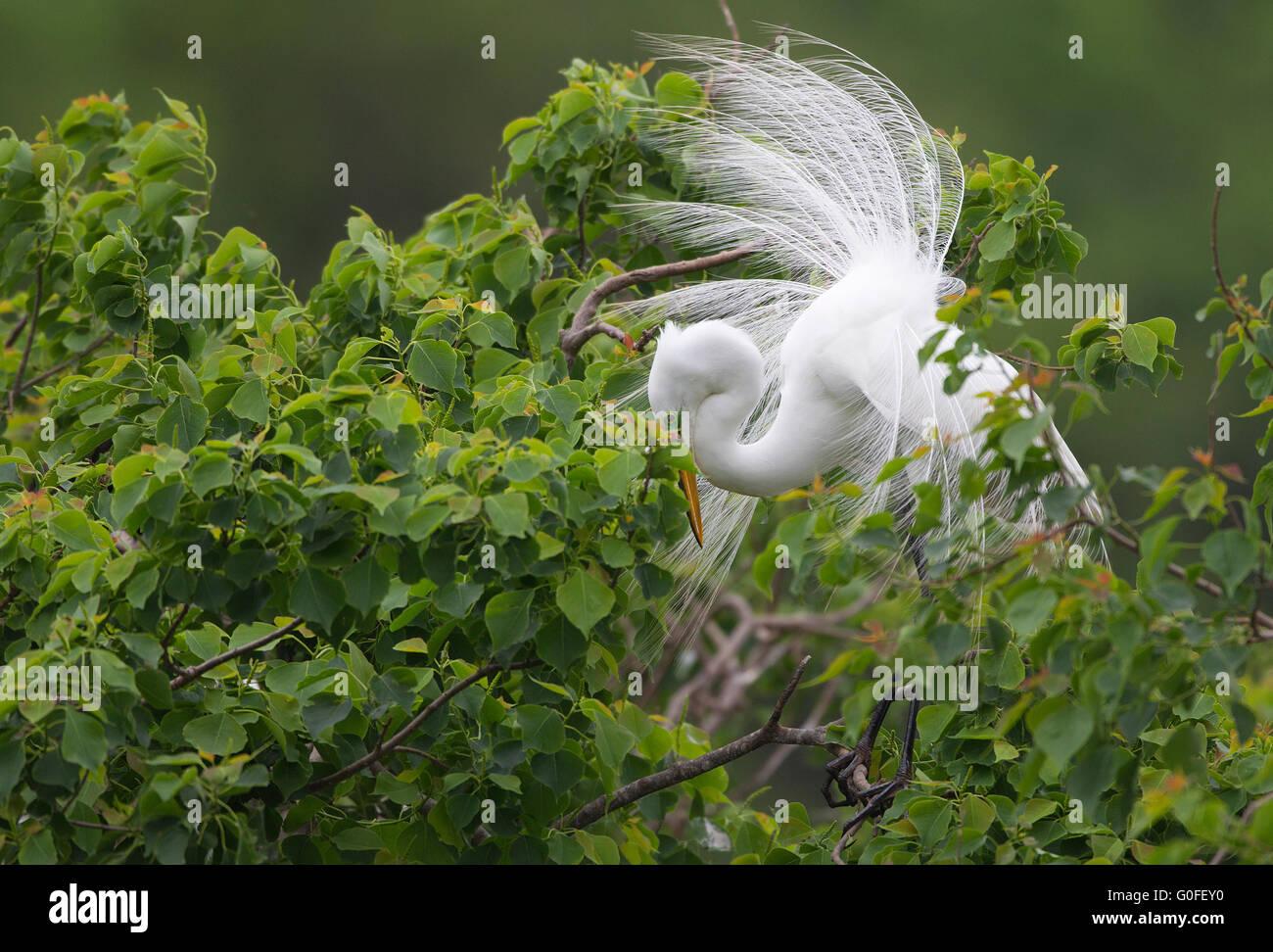 Great Egret Displaying Breeding Plumage - Stock Image