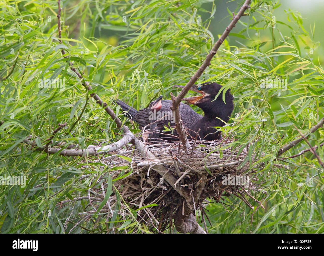 Neotropic Cormorant on Nest - Stock Image