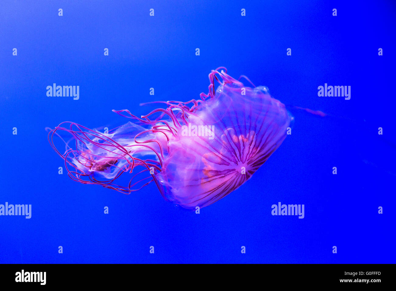 Northern sea nettle, chrysaora melanaster, moving in the water. This jellyfish can reach 60 centimeters in length - Stock Image