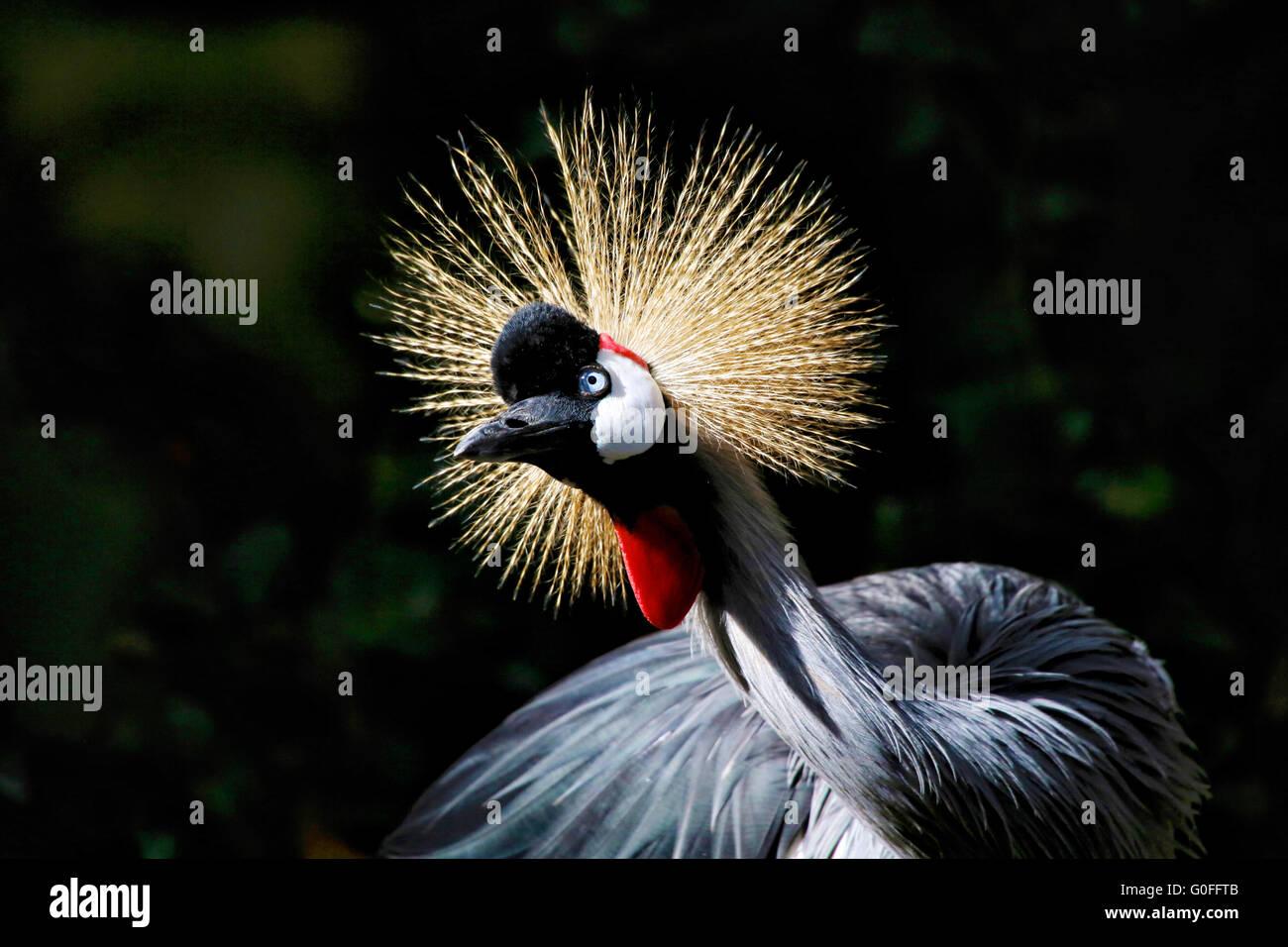 crowned crane kenya africa - Stock Image