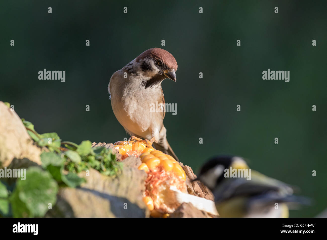 Sparrow in search of food - Stock Image