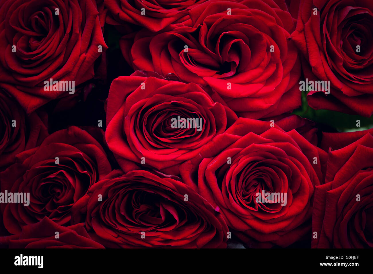 Red wet roses isolated on black background. Great as design element or greeting card for Valentines day - Stock Image