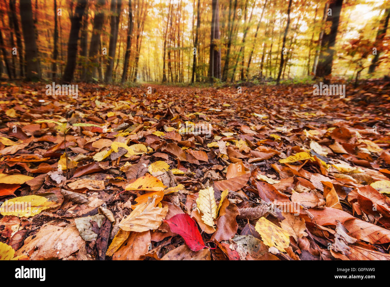 Fall leaves in forest Stock Photo