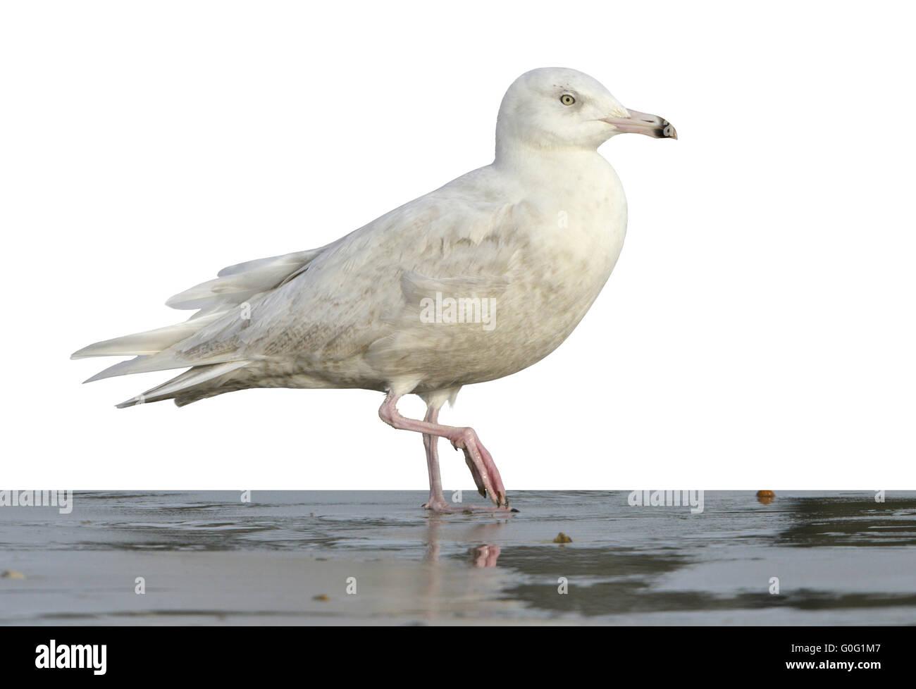 Glaucous Gull - Larus hyperboreus - 1st winter - Stock Image