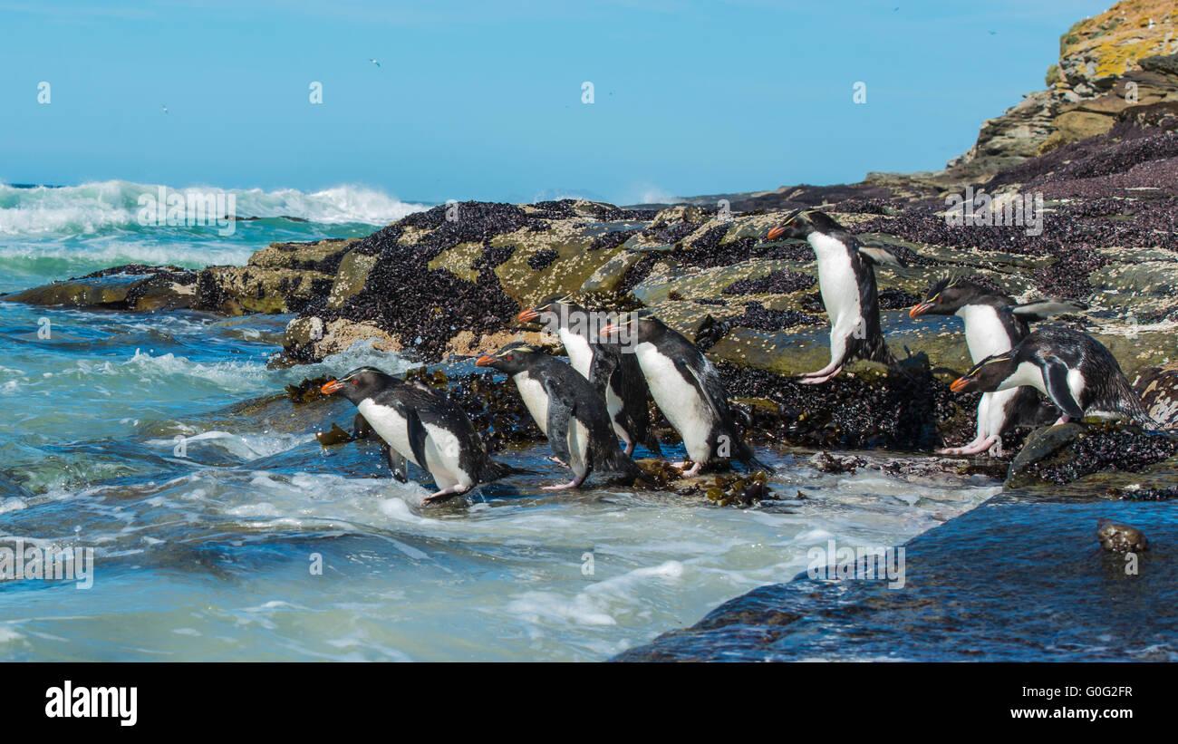 Rockhopper penguins Falkland Island - Stock Image