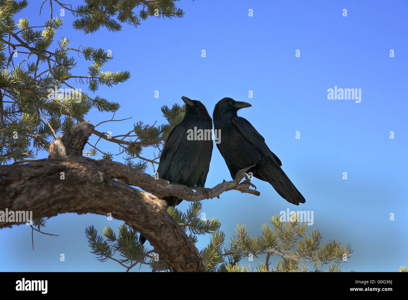 A pair of ravens ina tree in Northamerica - Stock Image