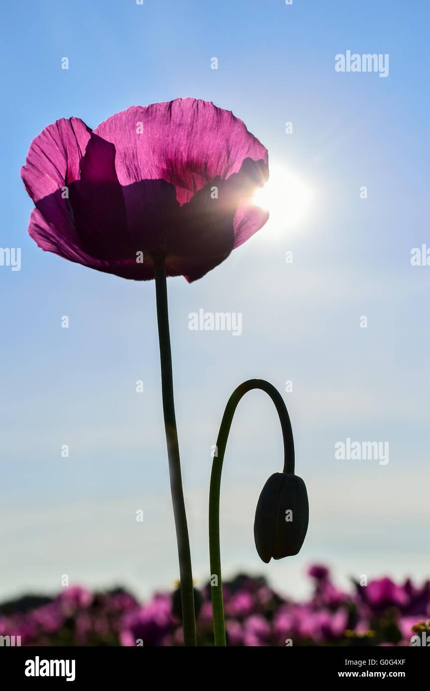 Poppy in violet in sunlight Stock Photo
