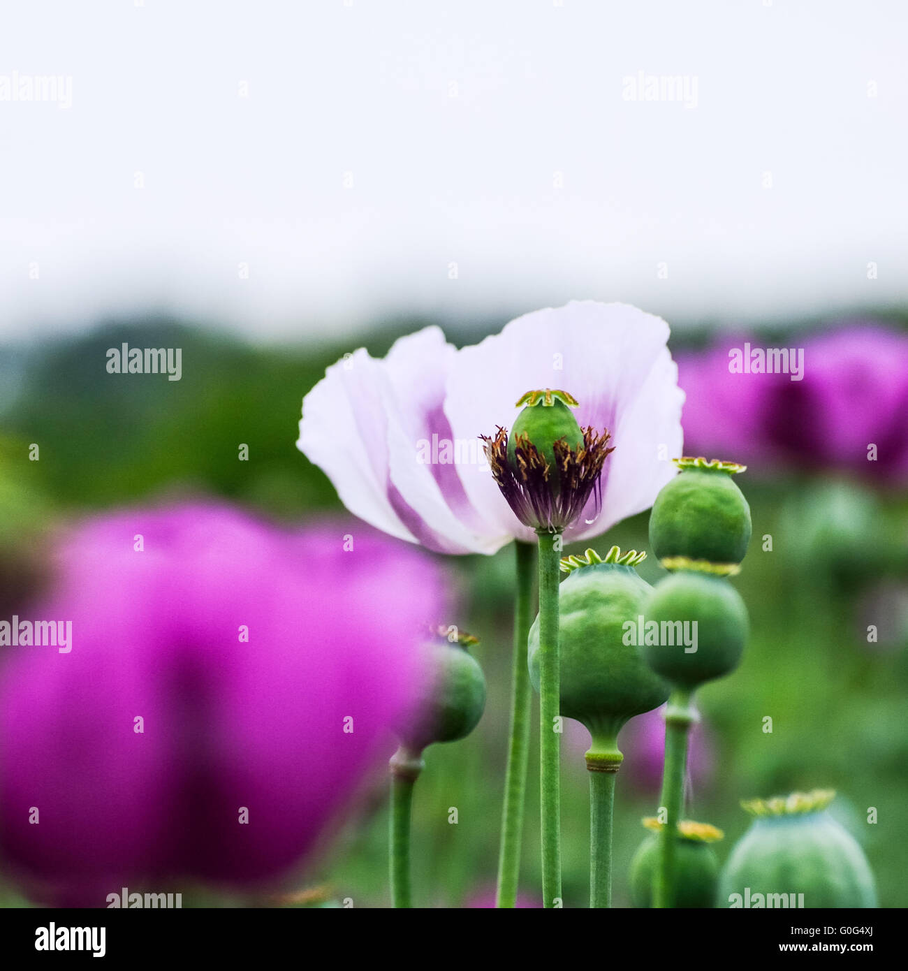 Poppies in purple and white Stock Photo