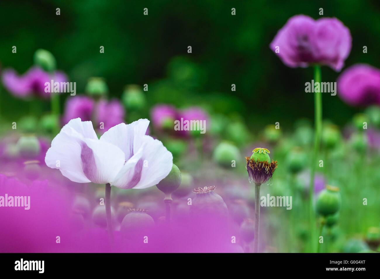 Poppy white and purple Stock Photo
