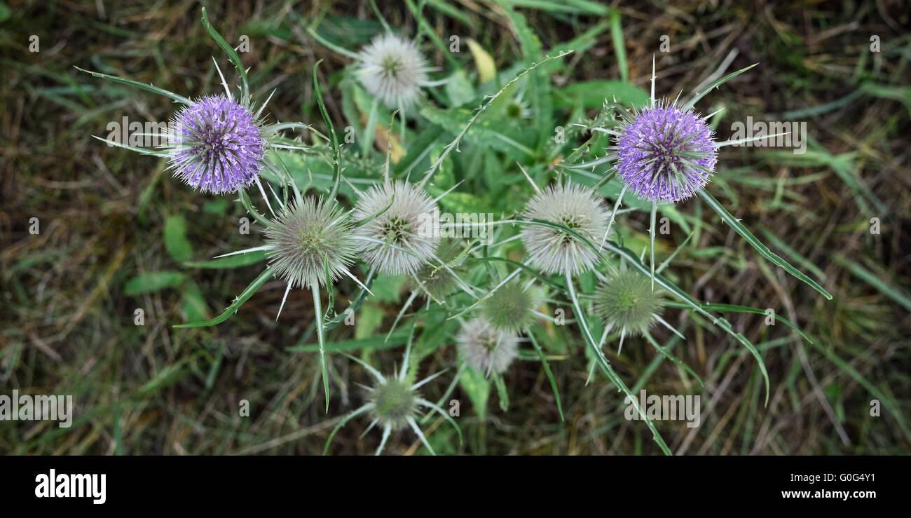 Fuller's teasel flower in spring Stock Photo