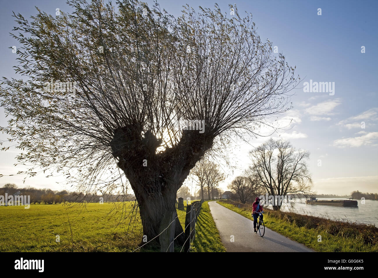 Cyclists in Lower Rhine landscape with pollarded willows, Duesseldorf-Wittlaer, Germany, Europe - Stock Image
