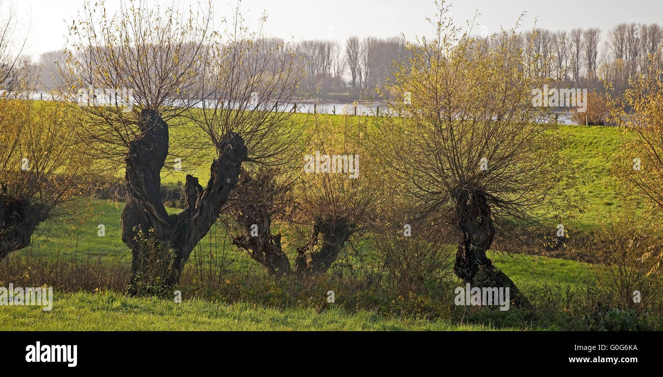 Lower Rhine landscape with pollarded willows and the river Rhine, Duesseldorf, Germany, Europe - Stock Image