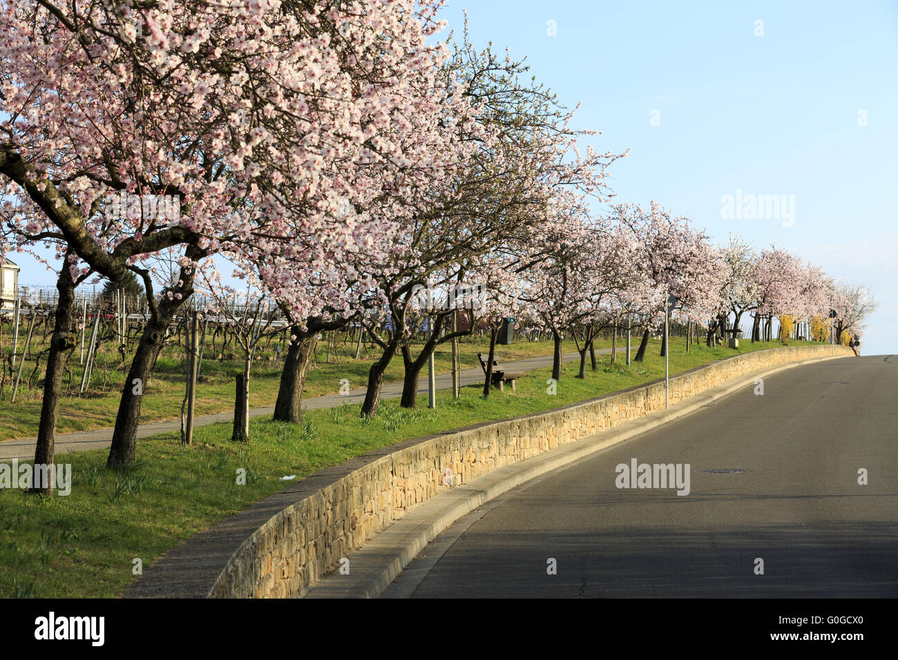mandelbluete almond tree blooming stock photo 103623576 alamy