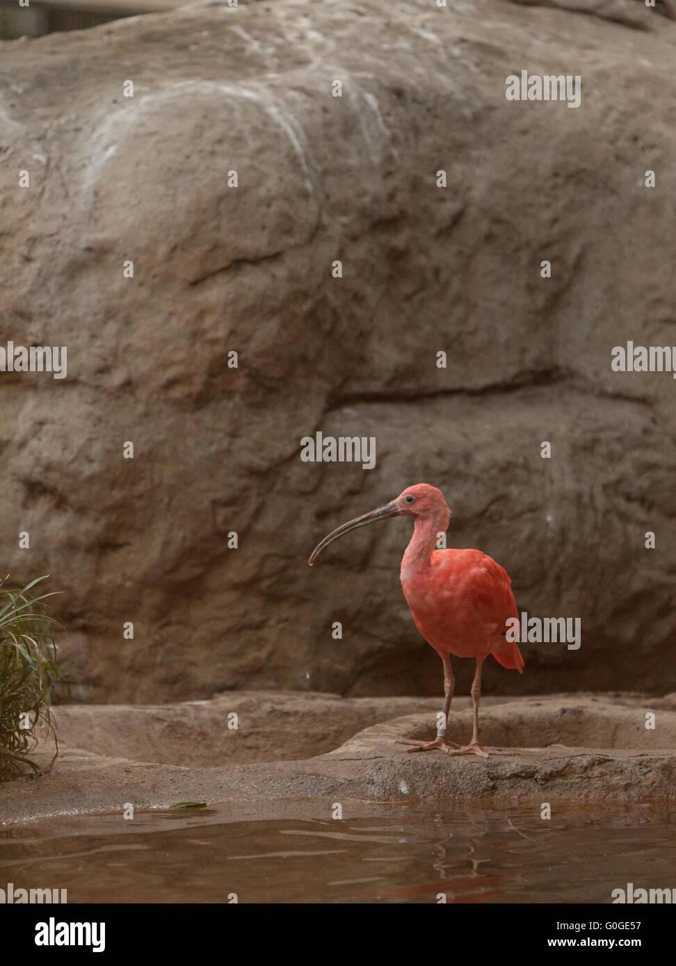 Scarlet ibis - Stock Image