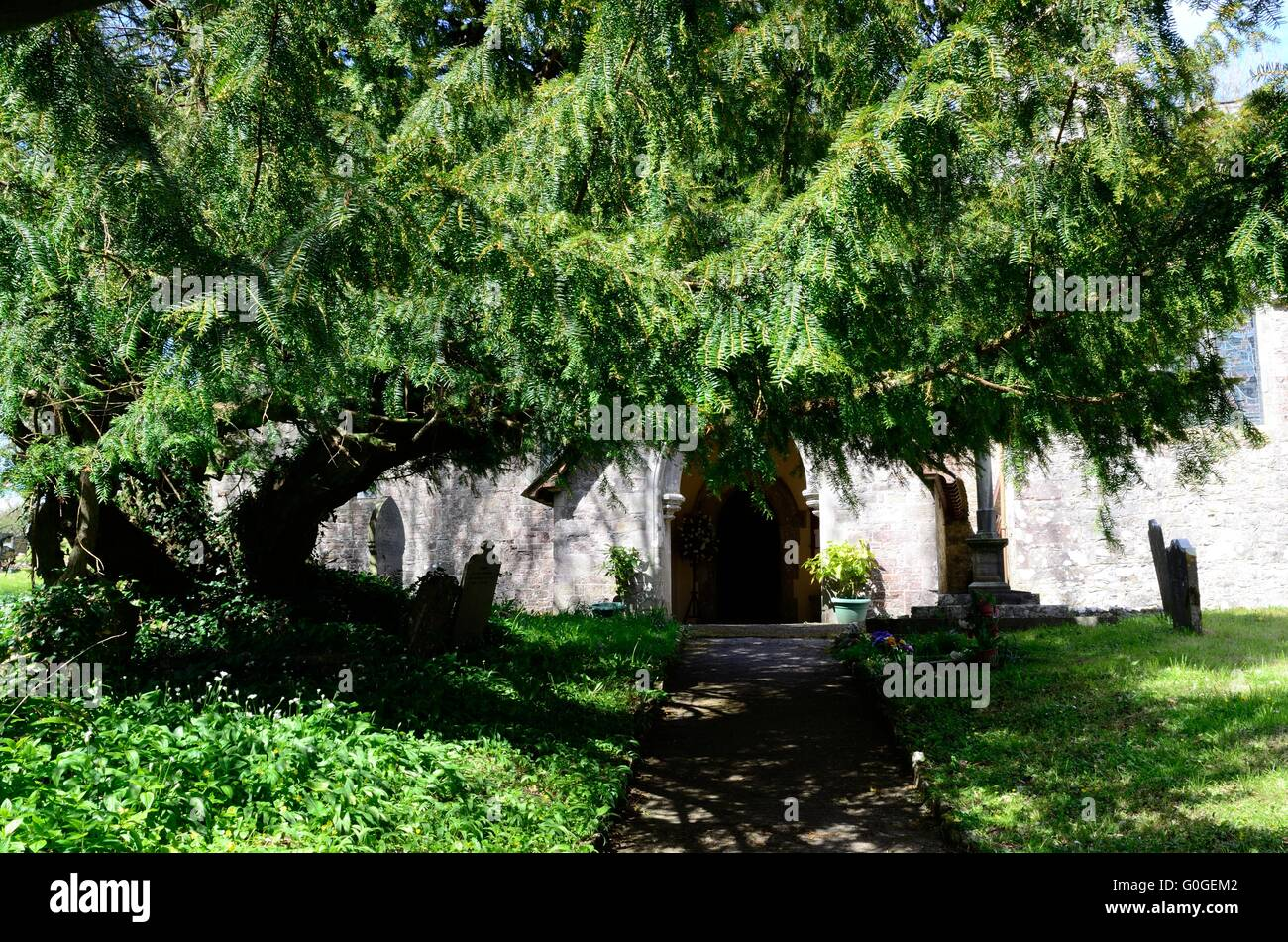 Yew tree crossing the path  to the door of St Elidor church Cheriton Stackpole Pembrokeshire Wales Cymru UK GB - Stock Image