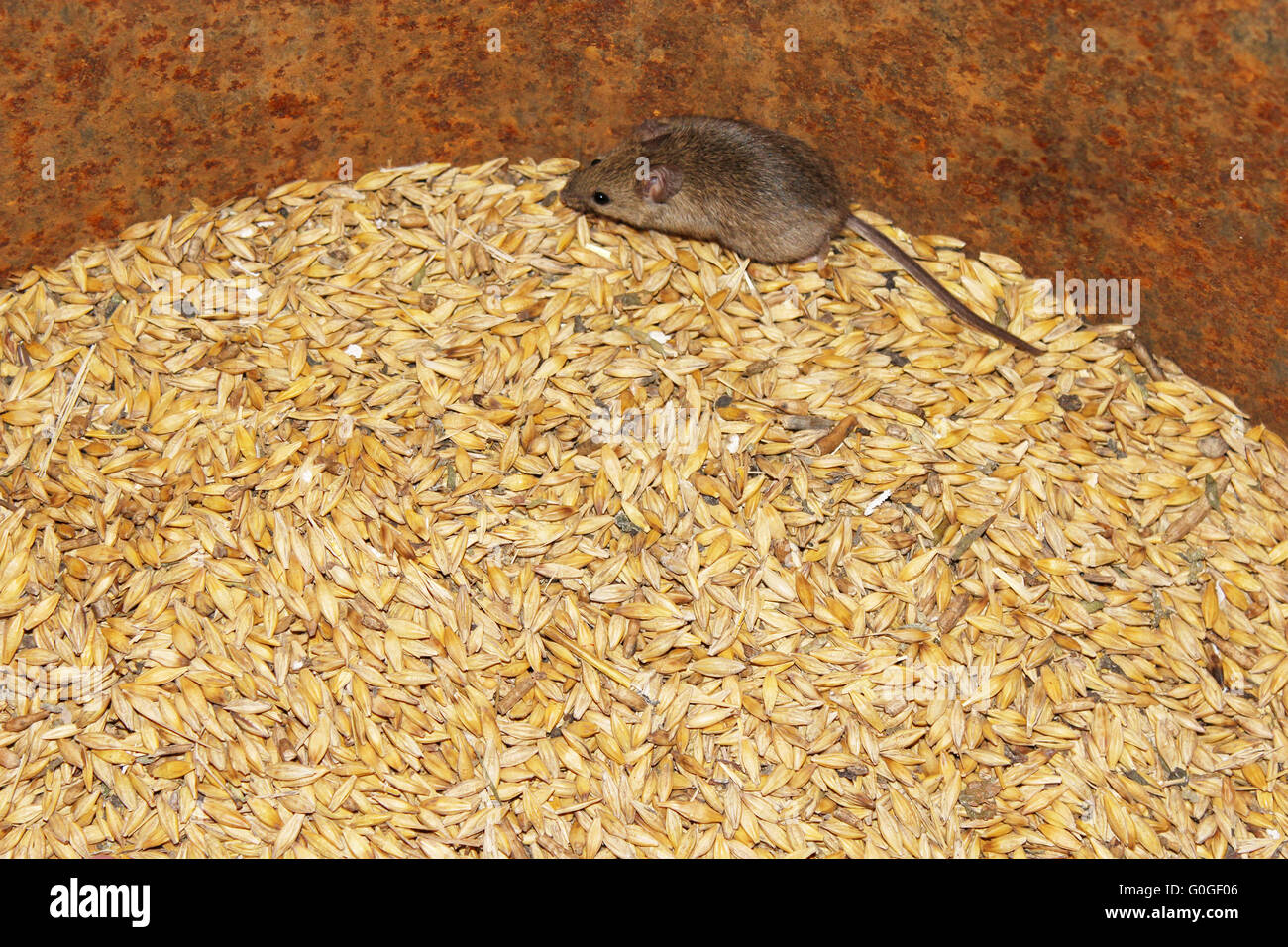 little grey mouse running on the wheat in the pantry Stock Photo